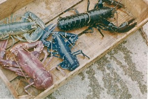 multicoloured Lobsters0001